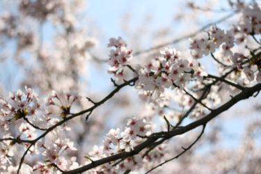滋賀県の桜10年分。時事と一緒に平成を振り返る。
